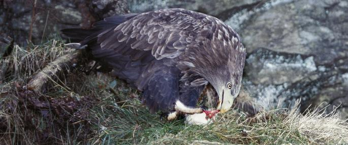 White-tailed eagle feeding - Wildstock - Wildstock